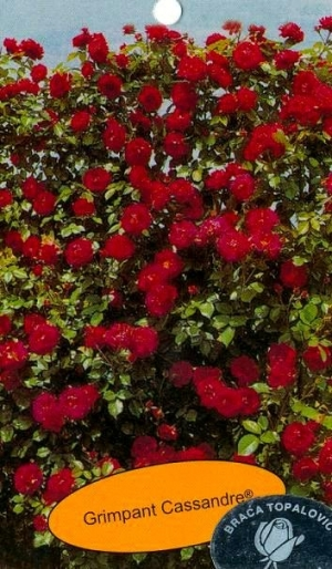 Роза гримпан кассандр