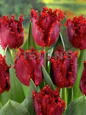 Игольчатые тюльпаны цветов